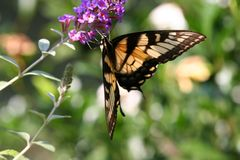 Farfalla di Swallowtail fotografia stock libera da diritti