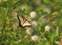 Farfalla di Swallowtail della tigre Fotografie Stock
