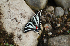 Farfalla di Swallowtail della zebra Fotografie Stock
