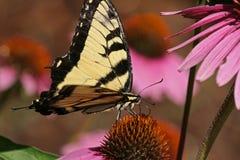 Farfalla di Swallowtail sul fiore fotografia stock