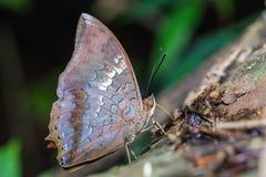 Farfalla di Tawny Rajah Immagine Stock Libera da Diritti