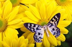 Farfalla di transducta di Dysphania Fotografia Stock Libera da Diritti