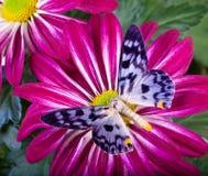 Farfalla di transducta di Dysphania Fotografia Stock