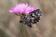 Farfalla di uccisione del ragno Fotografie Stock Libere da Diritti