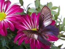 Farfalla di varuna di Parides Fotografia Stock