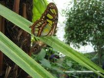 Farfalla di verde di calce Immagine Stock