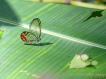 Farfalla di vetro Immagini Stock