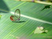 Farfalla di vetro Stock Images