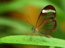 Farfalla di vetro dell'ala Immagine Stock