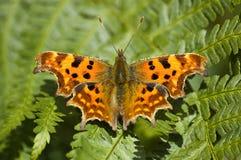 Farfalla di virgola Immagini Stock Libere da Diritti