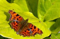 Farfalla di virgola 16 Fotografie Stock