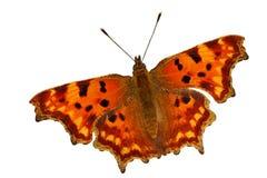 Farfalla di virgola Immagine Stock
