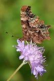 Farfalla di virgola Fotografia Stock Libera da Diritti