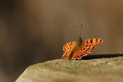 Farfalla di virgola Fotografie Stock Libere da Diritti