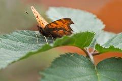 Farfalla di virgola arancione che riposa sul foglio verde Fotografia Stock