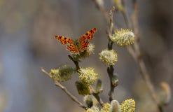 Farfalla di virgola fotografia stock