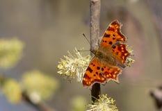 Farfalla di virgola fotografie stock