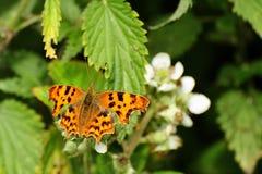 Farfalla di virgola (c-album di Polygonia) Immagini Stock Libere da Diritti