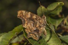 Farfalla di virgola (C-album di Polygonia) Immagini Stock