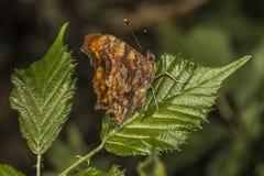 Farfalla di virgola (C-album di Polygonia) Fotografia Stock Libera da Diritti