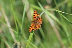 Farfalla di virgola (C-album di Polygonia) Immagine Stock