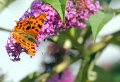 Farfalla di virgola (c-album di Polygonia) Fotografia Stock
