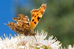 Farfalla di virgola grigia che succhia nettare Fotografia Stock Libera da Diritti