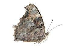 Farfalla di virgola orientale Immagine Stock