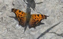 Farfalla di virgola orientale Fotografia Stock Libera da Diritti