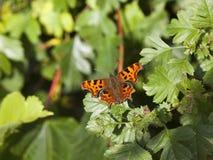 Farfalla di virgola su fogliame Immagini Stock Libere da Diritti