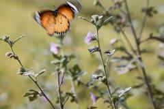 Farfalla di volo immagine stock libera da diritti