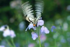 Farfalla di volo Immagini Stock Libere da Diritti