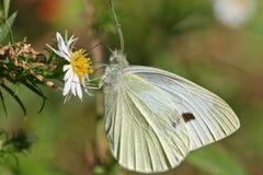 Farfalla di zolfo fotografie stock