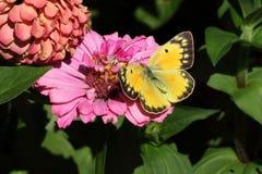 Farfalla di zolfo apannata Immagini Stock Libere da Diritti