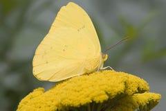 Farfalla di zolfo Cloudless immagini stock libere da diritti
