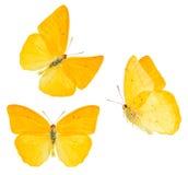 Farfalla di zolfo dell'albicocca Fotografia Stock Libera da Diritti