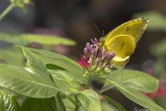 Farfalla di zolfo esclusa arancia sui germogli di fiore Fotografia Stock