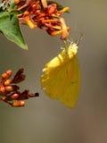 Farfalla di zolfo senza nuvole che raccoglie nettare Immagine Stock