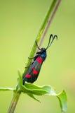 Farfalla di Zygaena Immagine Stock Libera da Diritti