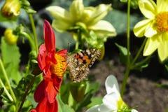 Farfalla dipinta di signora, cardui della vanessa, sul fiore rosso della dalia Fotografia Stock