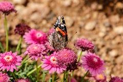 Farfalla dipinta di signora su Marguerite Daisy, Phoenix Immagini Stock Libere da Diritti