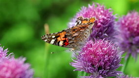 Farfalla dipinta di signora su un fiore della erba cipollina archivi video
