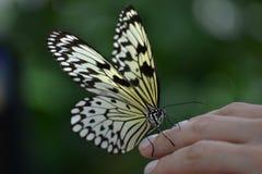 Farfalla a disposizione fotografie stock