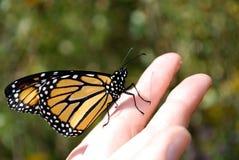 Farfalla a disposizione Immagine Stock