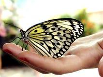 Farfalla a disposizione immagini stock libere da diritti