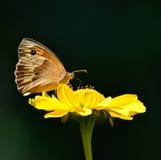 Farfalla dorata Fotografie Stock