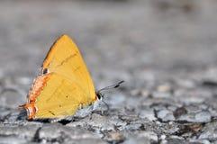 Farfalla dorata dello zaffiro Fotografie Stock Libere da Diritti
