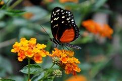 Farfalla dorata di Helicon, aka, hecale di Heliconius immagine stock libera da diritti