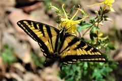 Farfalla a due code di coda di rondine nel lago canyon di legni, la contea di Coconino, Arizona, Stati Uniti immagini stock
