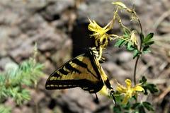 Farfalla a due code di coda di rondine nel lago canyon di legni, la contea di Coconino, Arizona, Stati Uniti fotografia stock libera da diritti